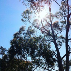 Koala Bear at Loftys Lookout, Adelaide