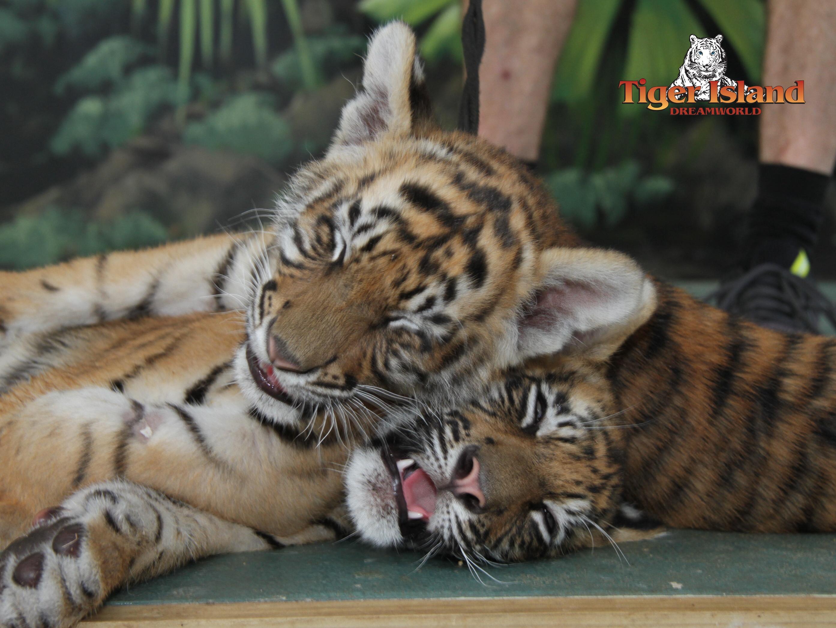 MEETING TIGER CUBS AT DREAMWORLD